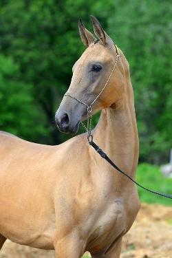 Предлагается к продаже ахалтекинская кобыла редкой линии Кир Сакар   реальных 161 см в холке 2 года  Шоу класс, скачки и разведение