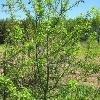 Саженцы яблони сибирской